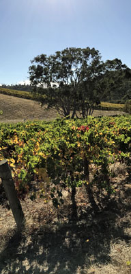 Vines with gumtree in background
