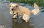 Golden Retriever in a large puddle