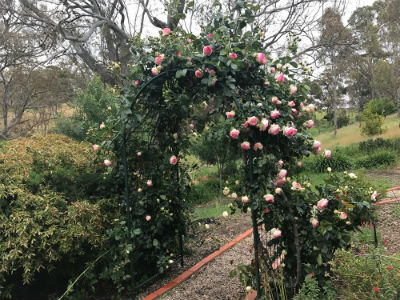 Roses covering trellis at Penna Lane property