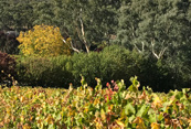 Autumn colours in the vineyard and the trees