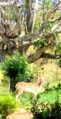 Deer under gum tree
