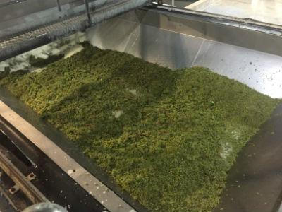 Semillon grapes leaving truck for crusher