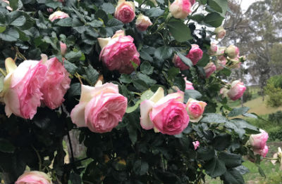 Pink roses growing at Penna Lane