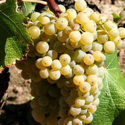 A bunch of semillon grapes
