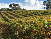 Autumn view of Shiraz vineyard