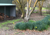 Daffodills at Cellar Door